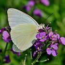 Great Southern White Butterfly by Kathy Baccari
