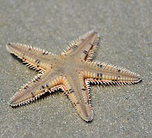 Spikey Seastar by Kathy Baccari