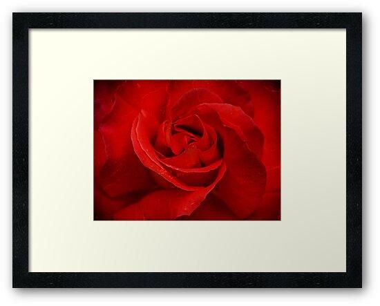 Valentine Rose by mlphoto