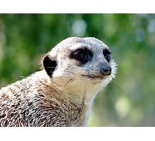 Suricate on a watch Photographic Print