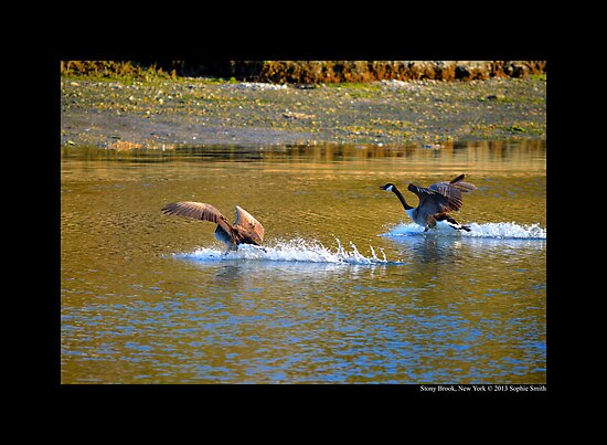 Branta Canadensis - Canadian Geese Landing On Porpoise Channel - Stony Brook, New York by © Sophie W. Smith