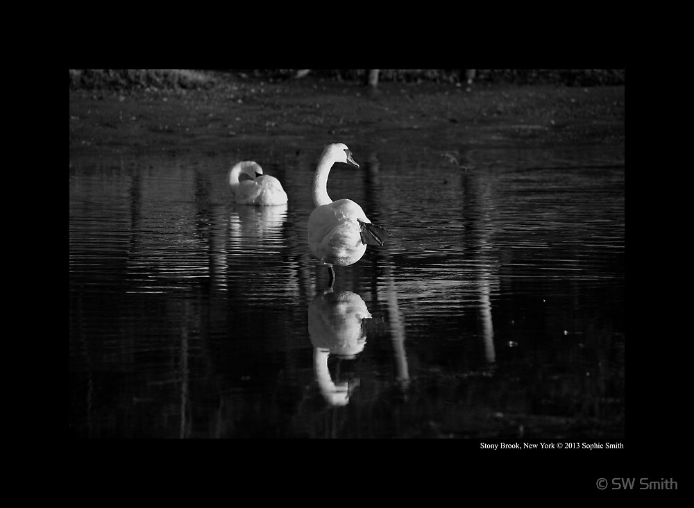 Cygnus Olor - Reflection Of A Mute Swan Standing On One Leg  by © Sophie W. Smith