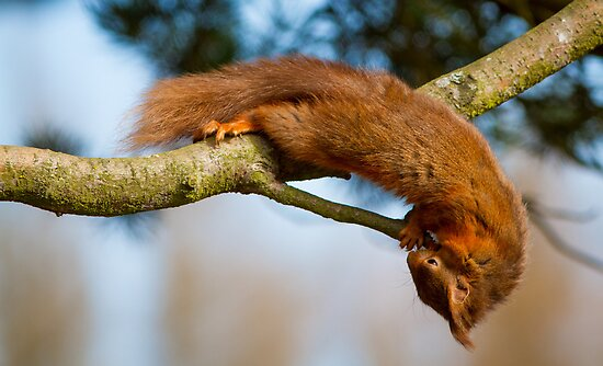 Red Squirrel by moonunit
