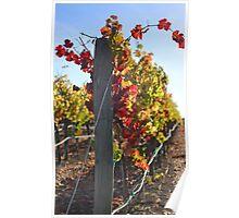 Pinot Noir Grapes at Cuvaison Winery, Napa, CA Poster