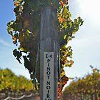 Pinot Noir Grape Vines in Napa by Nina Brandin