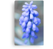 grape hyacint Canvas Print