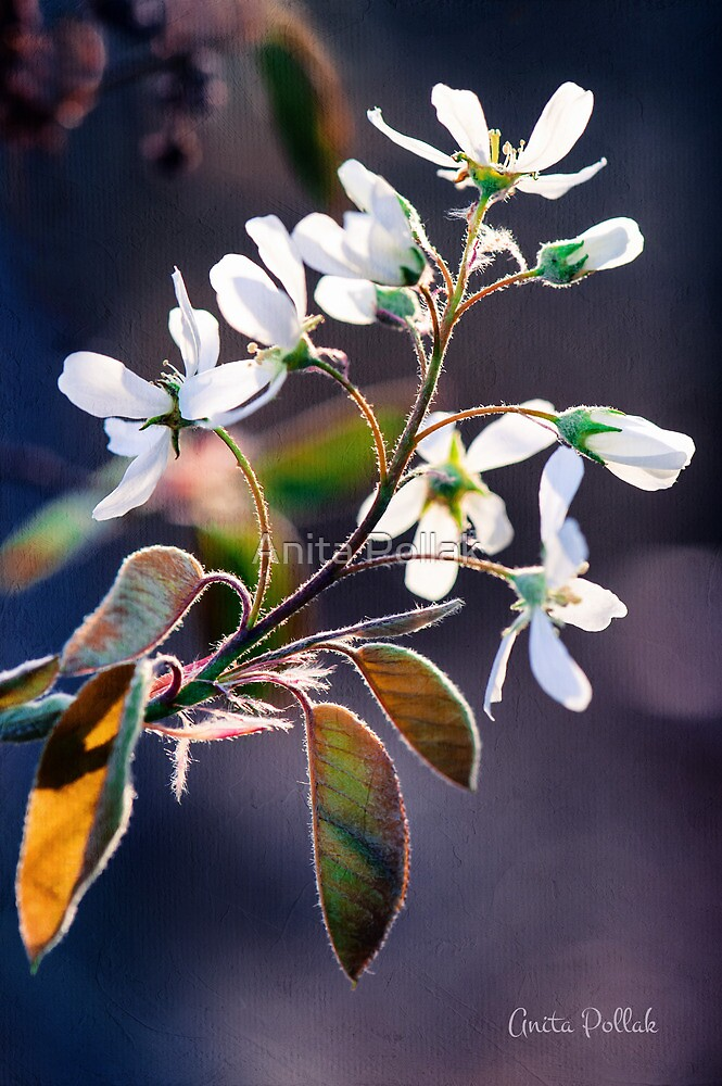 Glorious Shad Blossoms by Anita Pollak
