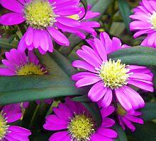 Fuchsia Daisy Flowers by BluedarkArt