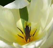 Lady in White; photograph of a tulip by walstraasart