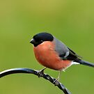 Bullfinch (Pyrrhula pyrrhula) by Chris Monks
