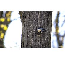 Nuthatch in Spring Photographic Print