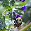 Bumblebee on Lungwort by Mikell Herrick