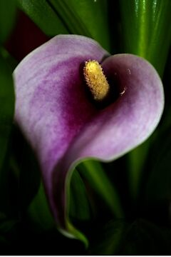 purple calla lily by dedmanshootn