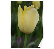"Yellow ""Sharp"" Tulip Poster"