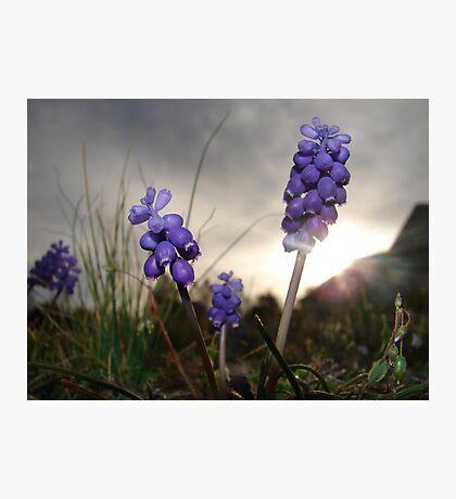 Purple Blooms Photographic Print