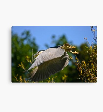 Heron Takeoff Canvas Print