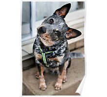 Jax the Cattle Dog Poster