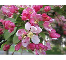 Pink tree blossom Photographic Print