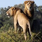Africa - My Cats by Pauline Adair