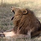 Yawning not roaring by Pauline Adair