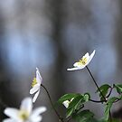 Forest anenomes by Heather Thorsen
