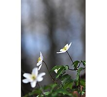 Forest anenomes Photographic Print
