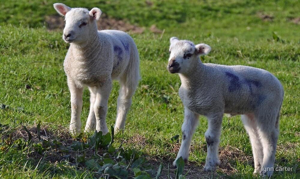 Cute Lambs by lynn carter