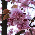 Japanese Flowering Cherry by RaymondJames