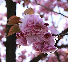 Japanese Flowering Cherry by RaymondJames