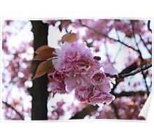 Japanese Flowering Cherry Poster