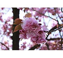 Japanese Flowering Cherry Photographic Print