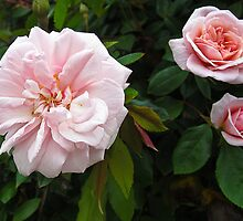 Pink roses from older to younger by David Chesluk