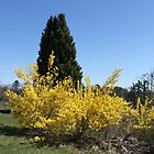 Pretty Forsythia Flowers with Evergree Tree by joycemlheureux