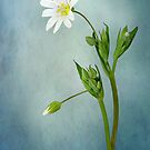 Simply Stitchwort by Jacky Parker