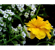 Yellow Dew Dropped Petals Photographic Print