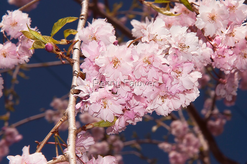 weeping cherry by Penny Rinker