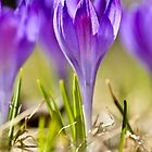 Violet crocuses in early spring by marina63