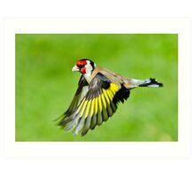 Goldfinch in flight Art Print