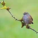 Dunnock by M.S. Photography & Art