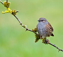 Dunnock by M.S. Photography/Art