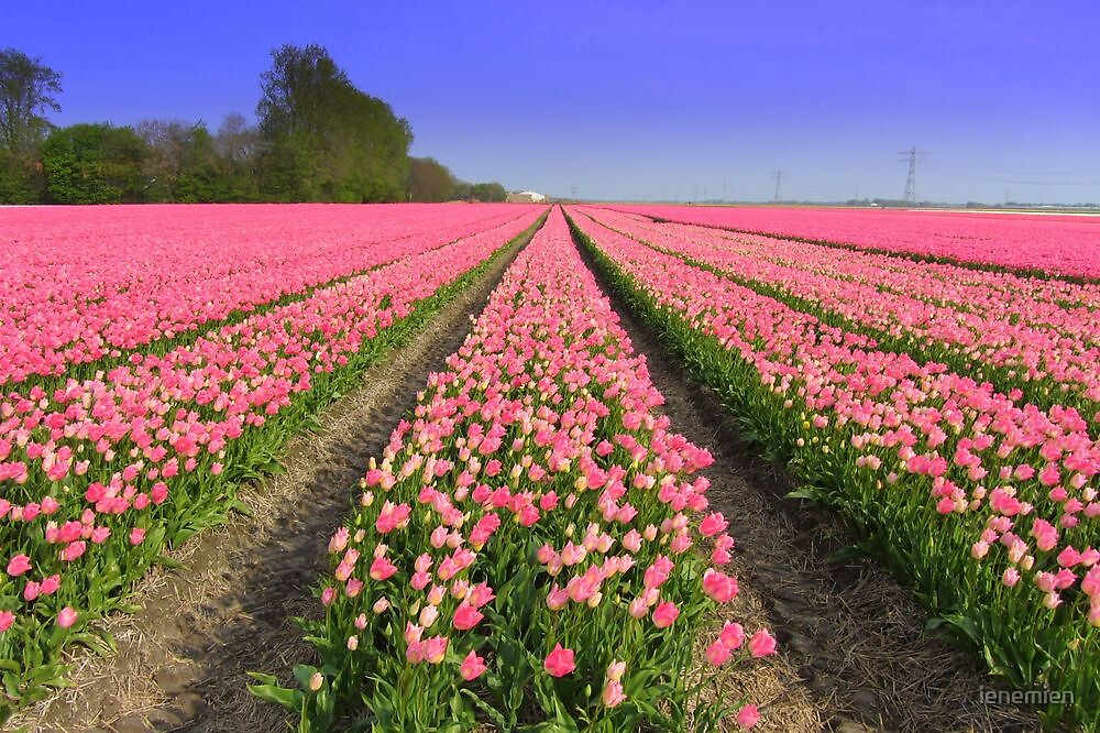 Tulip Field by ienemien
