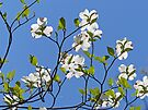 White Dogwood against Blue Sky by Susan S. Kline