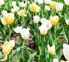 white and yellow tulips by Paula Bielnicka