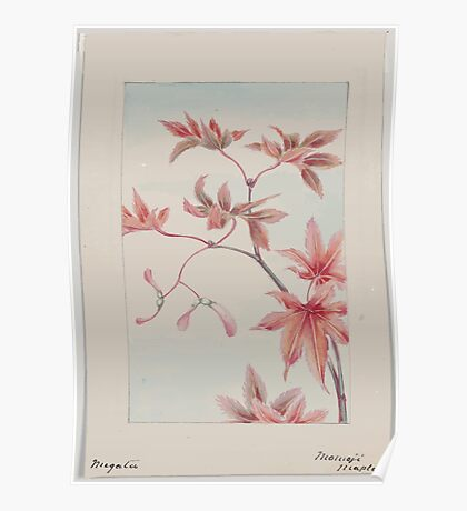 Branch of a maple tree with leaves and seeds 001 Poster