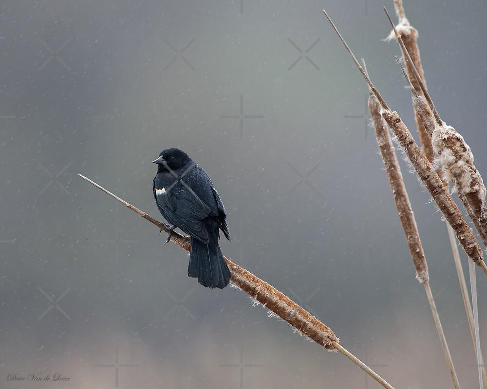 Red-Winged Blackbird in rain by (Tallow) Dave  Van de Laar