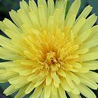 Dandelion by Sheryl Hopkins