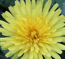 Dandelion by Sheryl Hopkins