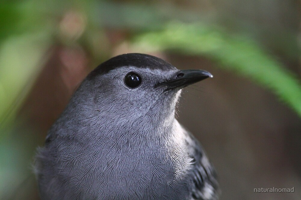 Gray Catbird Portrait by naturalnomad