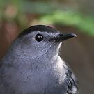 Gray Catbird Portrait by naturalnomad