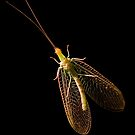 Eastern Green Lacewing by Otto Danby II